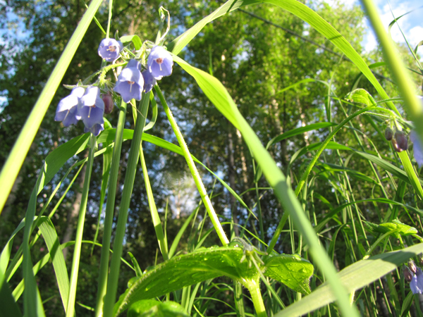 close up of grass and blue bell flowers