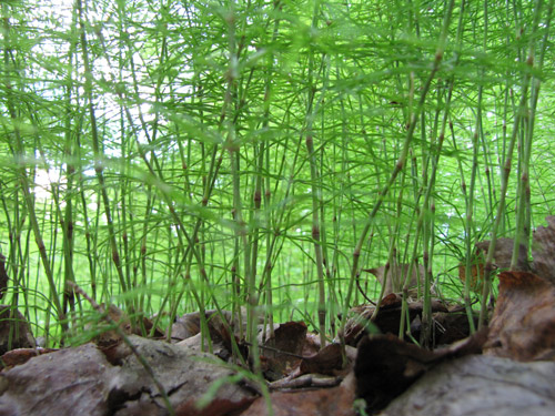 close up view of horsetails ferns with dead leaves in lower third of photo