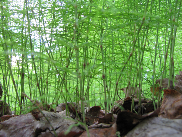 close up view of horsetail ferns with dead leaves in lower third of photo