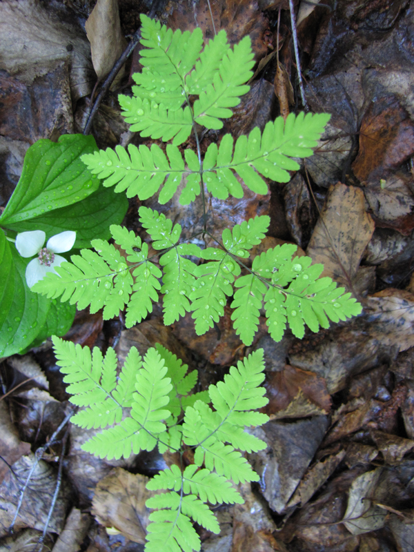 close up of fern with dead leaves underneath. bonus botany: dogwood flower to the left